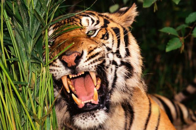Tigre - imagem: Corbis